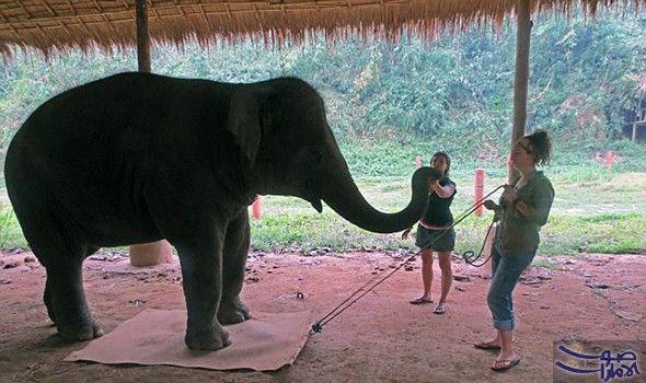 الفيلة تعلم أن جسدها العملاق يمثل عائق ا كبير ا أظهرت دراسة من جامعة كامبريدج أن الفيلة حيوانات تدرك أن جسدها العملاق يعد عقب Elephant Animals Animals Wild