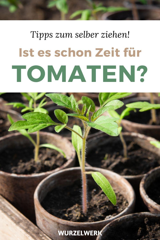 Kraftige Tomaten Selber Ziehen Und Pikieren Wurzelwerk In 2020 Eisheilige Tomaten Garten Tomaten