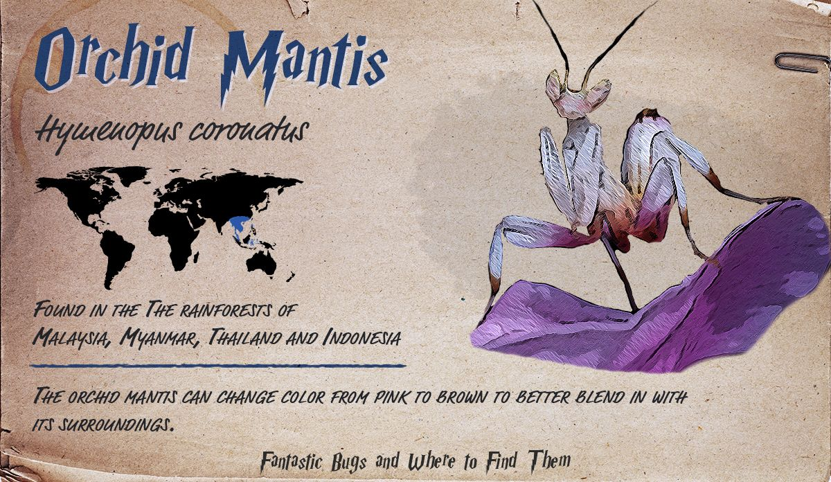 Infographic Detailing Information About The Orchid Mantis Bugs