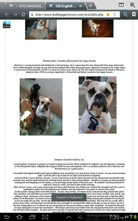 Available Olde English Bulldogges For Adoption Olde English
