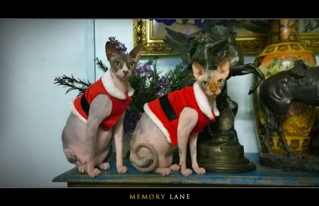 Zucky And Zooky The 9 Months Old Sphynx Cats On Cute Santa Claus Outfit Most Beloved Kittens Of Cbd Pet Portraits Photography Kittens In Costumes Sphynx Cat