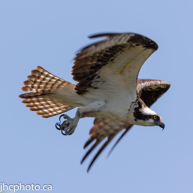 13++ Flying osprey ideas in 2021