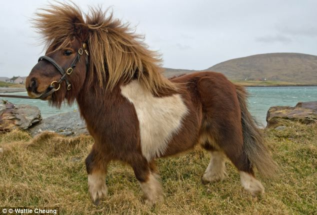 He's NOT the daddy! DNA tests prove moonwalking Shetland ...