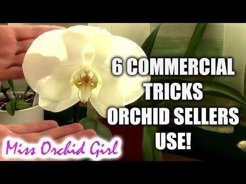 Rejuvenating Stressed Orchids Part 1 Limp Leathery Leaves Youtube Buy Orchids Orchids Orchid Leaves