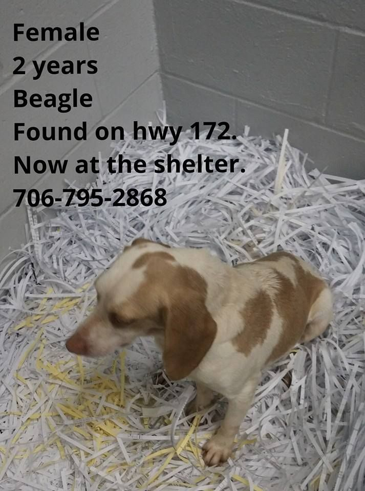 Found 2 Yr Old Female Beagle Danielsville Ga Area Currently At