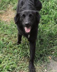 Adopt Harmony On Petfinder Border Collie Dog Flat Coated Retriever Dogs