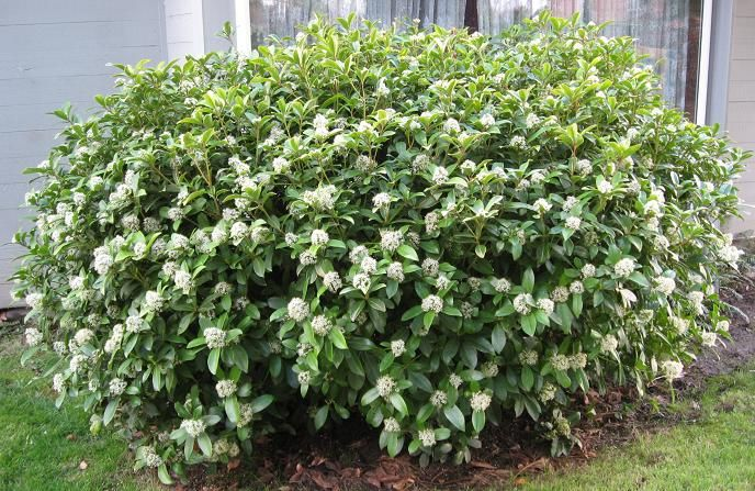 Japanese skimmia shrub google search evergreen shrubs for White flowering bush