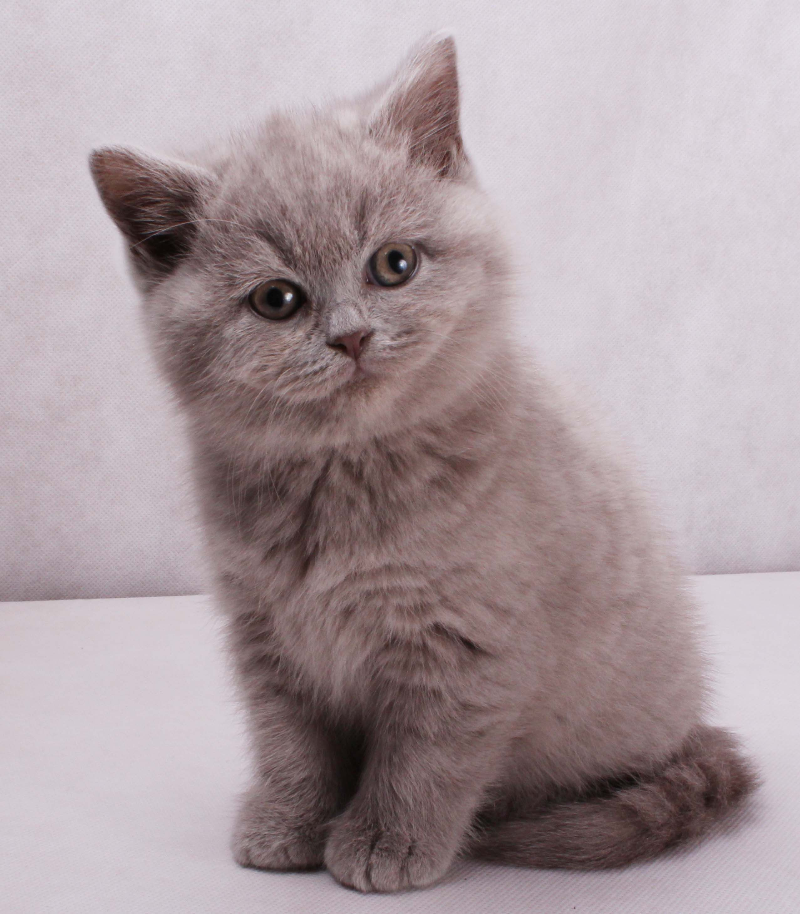 Image Detail for British Shorthair Cat, kitten, blue