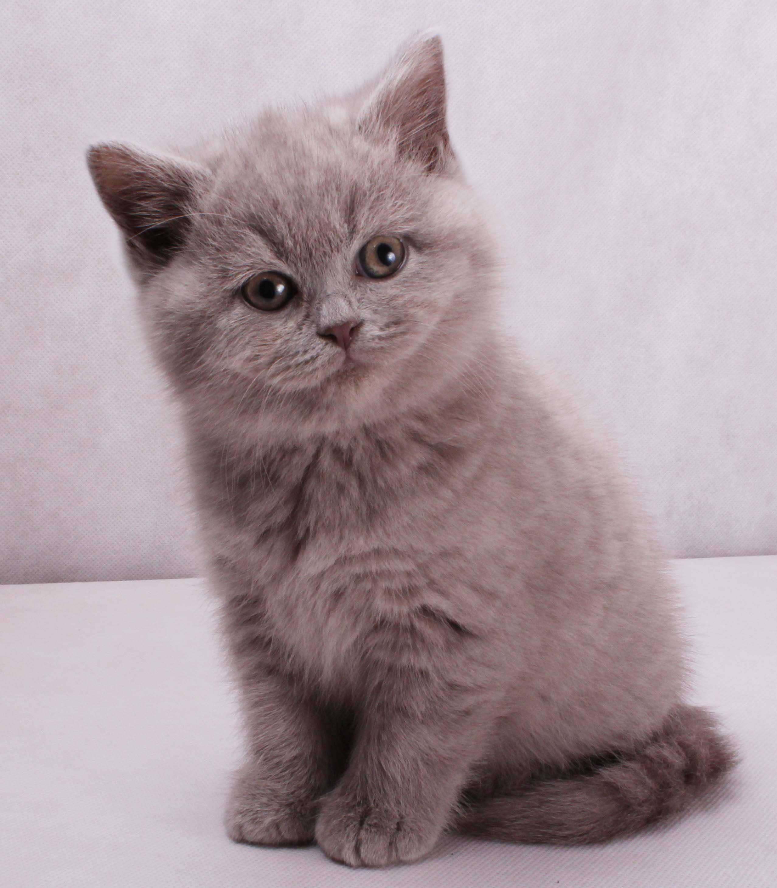 Best Of British Shorthair Cat Club