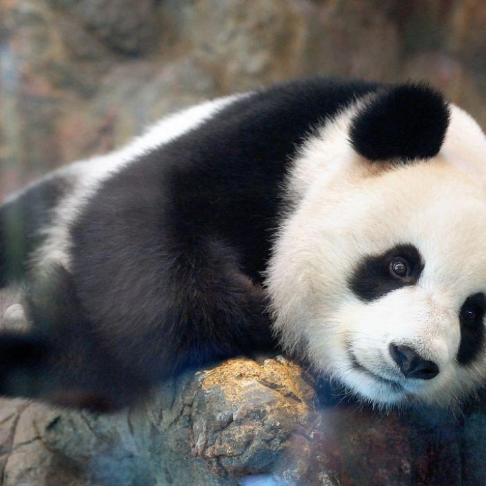 The Ethical Evolution Of Zoos Female Panda Zoo Panda Bear