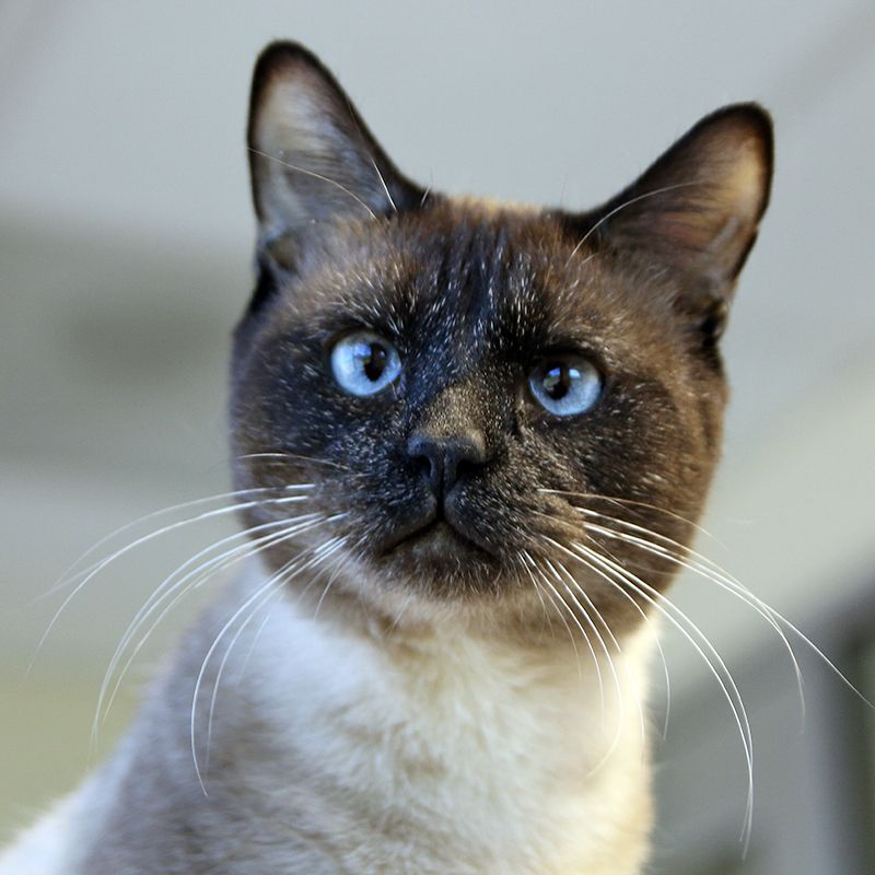 Minuku Is A 5yr Male Dsh Siamese Mix Available Through Spca Tx Can Be Seen At Jan Rees Jones Animal Care Center Dallas Tiere Katzen