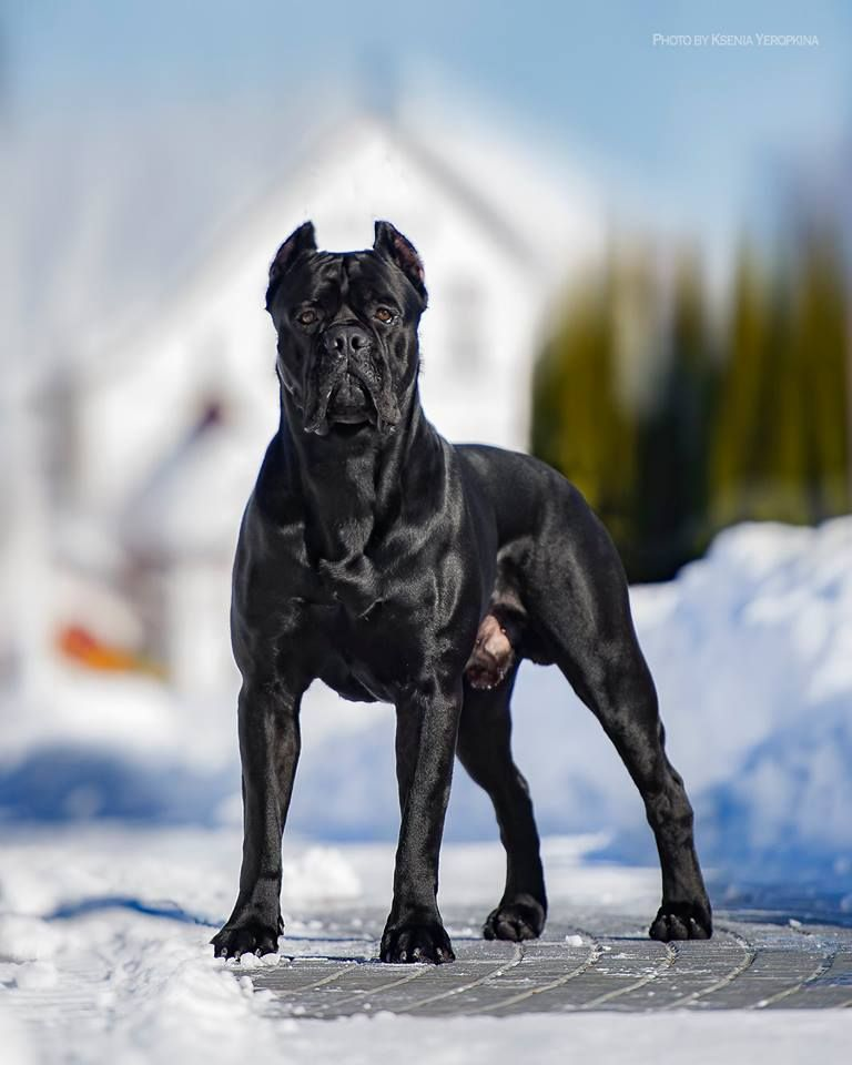 Pin By Thomas Lee On Animals In 2020 Cute Baby Animals Cane Corso Cane Corso Dog