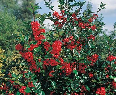 Blue Princess Holly For Sale Online | The Tree Center |Prince And Princess Blue Holly