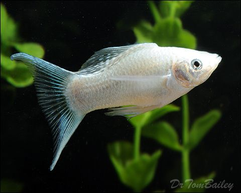 white molly fish, http://goldfishaquarium.net/other-great ...