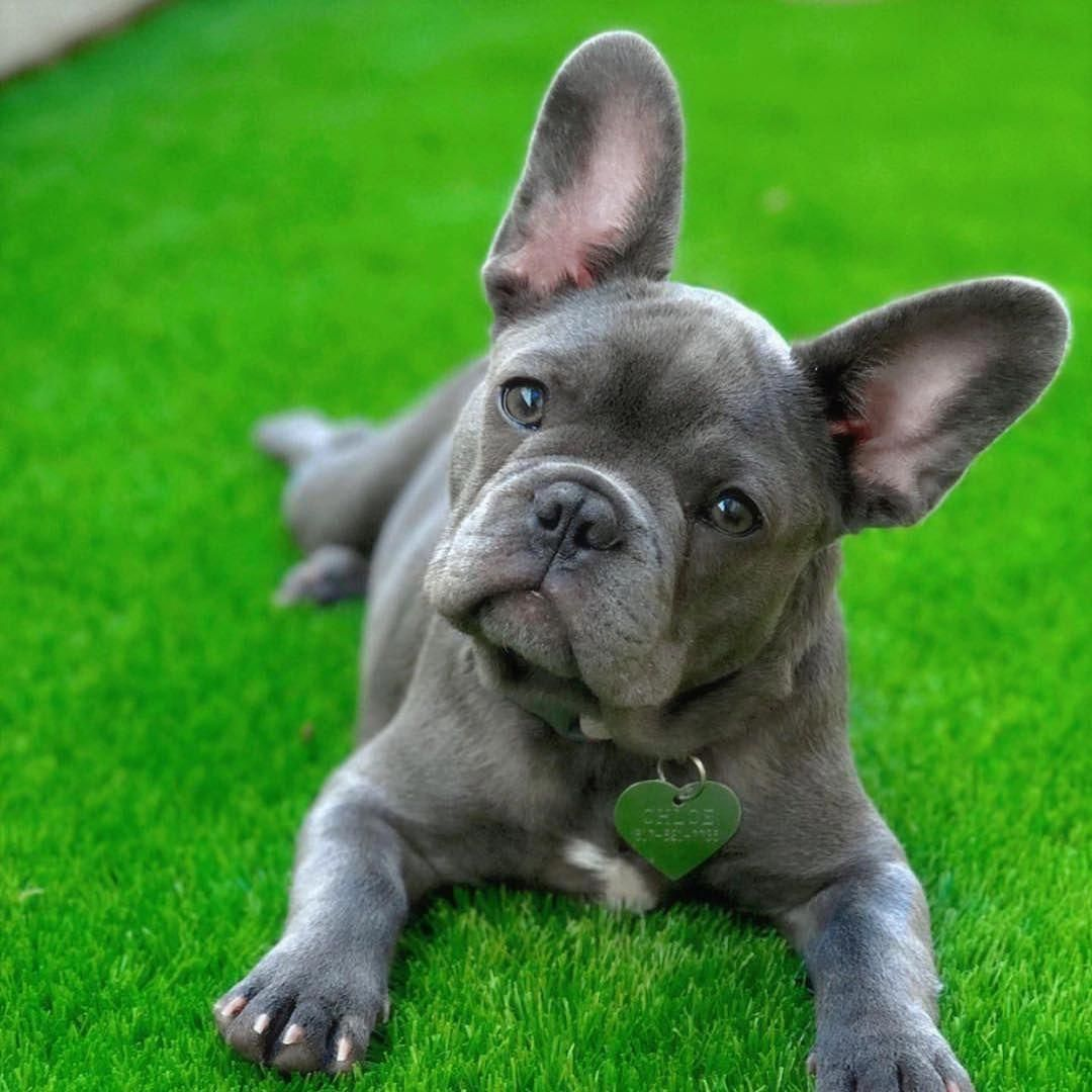 French Bulldog Playful And Smart French Bulldog Rescue French