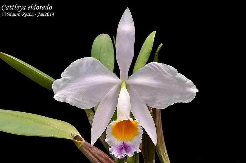 Cattleya Eldorado Cattleya Orchid Orchidaceae Orchids
