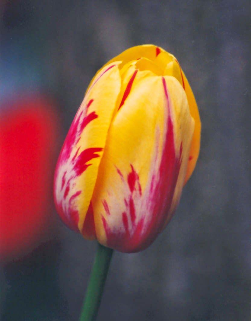 Flowers And Bunga Tulips Edible Flowers Flowers