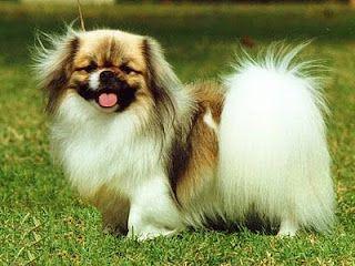 German Wirehaired Pointer Tibetan Spaniel Dog Breeds Spaniel