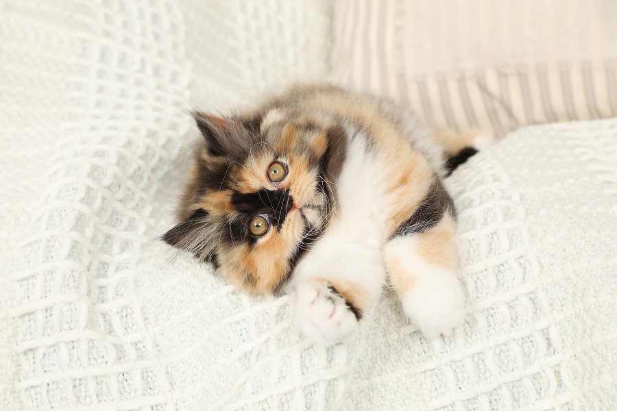 Pawlina the Calico Persian Kitten Persian kittens