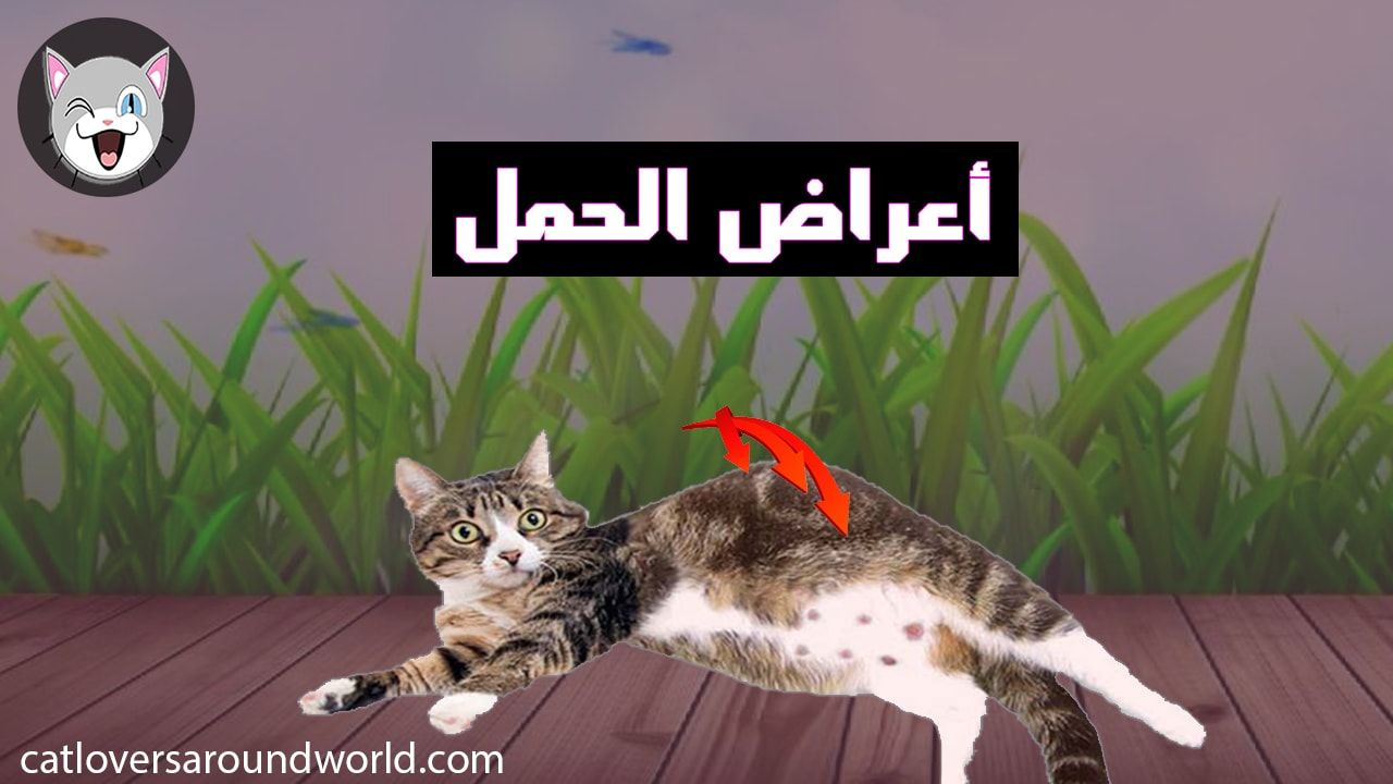 Pin On كل اعراض الحمل لدى القطط