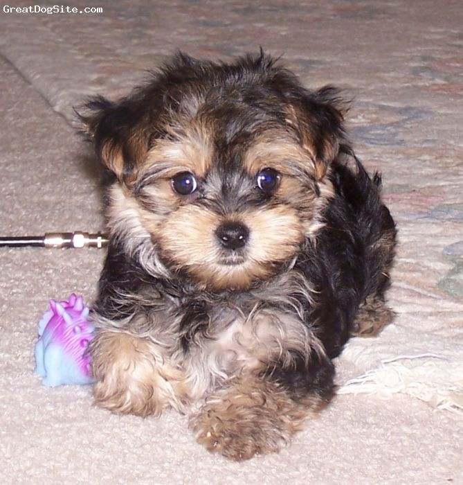 Morkie Morkie Morkie Puppies Black Puppy