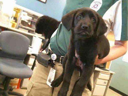 Plano, TX Newfoundland Mix. Meet GRACIE, a puppy for