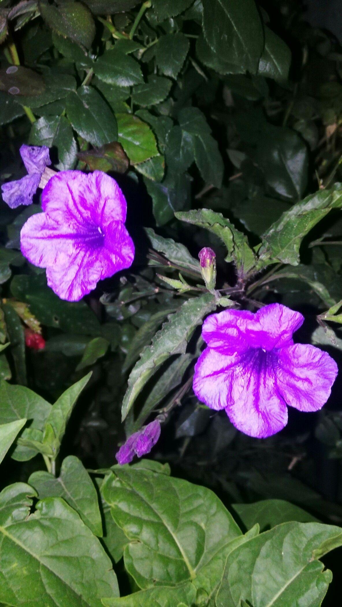 Petunia Mexicana Mexicana Campanilla Petunias Flores Campanita