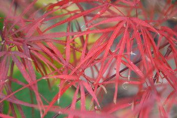 Ap Atrolineare Red Scolopendrifolium A Very Hardy Linearilobum