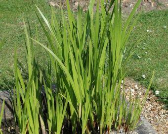 Sweetflag Acorus calamus native ohio water loving plant ...   340 x 270 jpeg 28kB