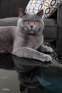 Www Silverbrookcattery Com British Shorthair Kittens Kittens For Sale Cats For Sale Cat Kitten K Kitten Adoption Cats For Sale British Shorthair Kittens