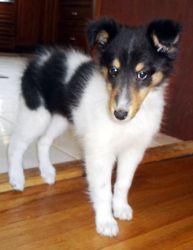 Adopt Gigi On Shetland Sheepdog Dogs Dog Breeds