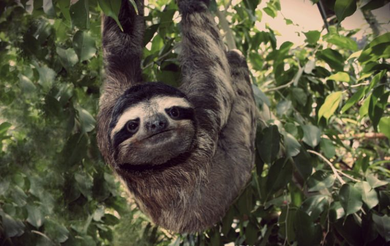 The Three Toed Sloth Facts Photos Videos Gifs Animals Sloth