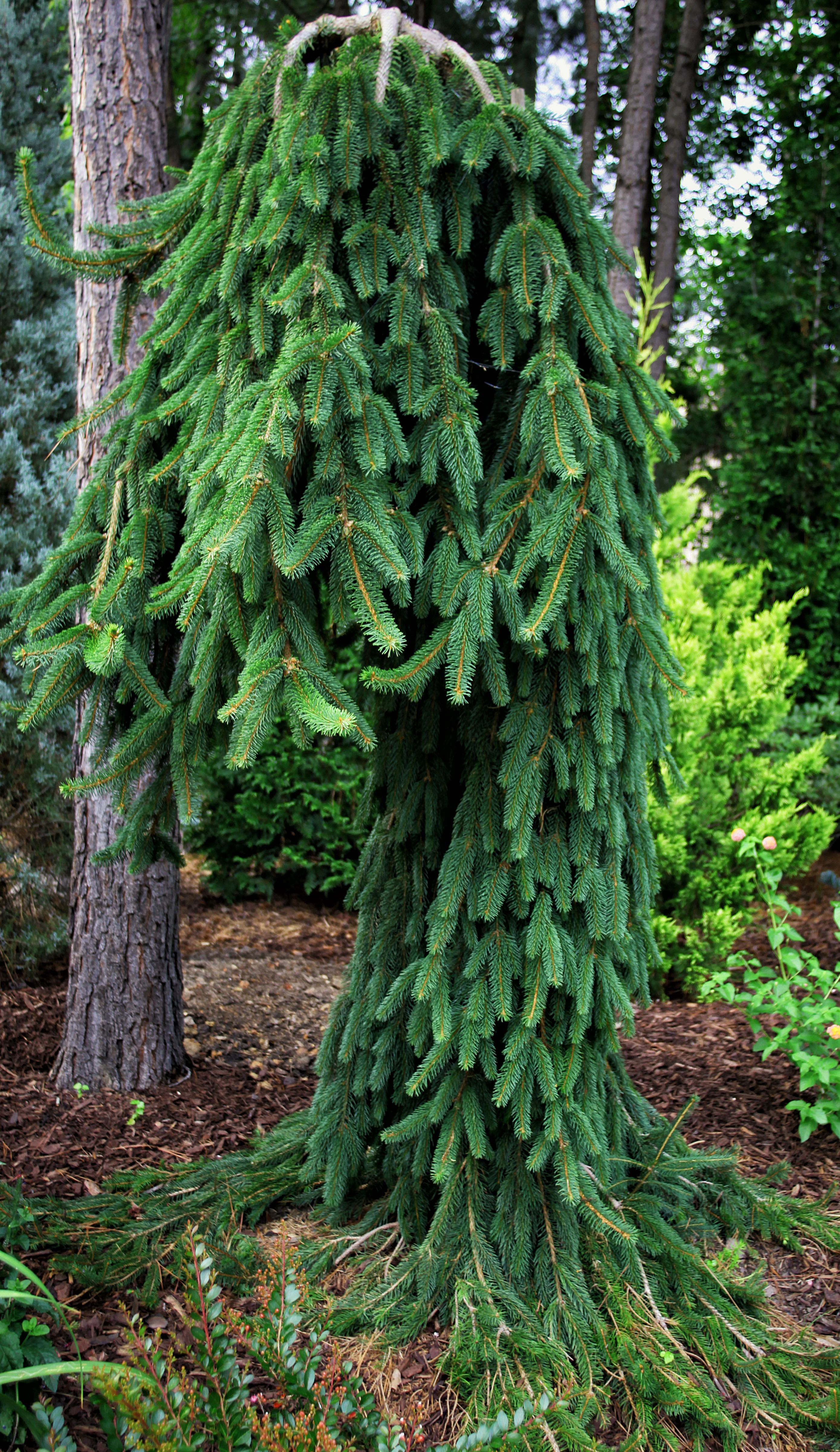 39 frohburg 39 weeping norway spruce treehugger pinterest for Weeping evergreen trees for small gardens