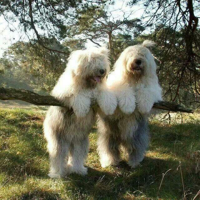 The Shaggy Dog Twins Dog Lovers Old English Sheepdog Animals