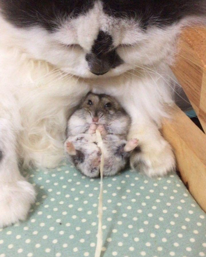 Коты с хомяками дружат