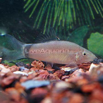 Skunk Botia Loach For Jon Pertwee Doctor Who Tropical Fish Aquarium Fish Fish Pet