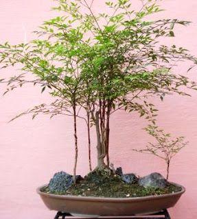 Bonsai Heavenly Bamboo Nandina Domestica