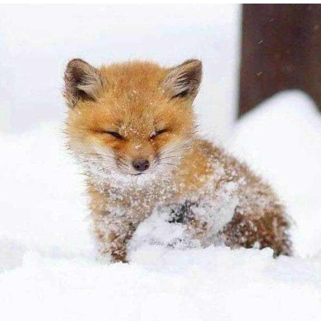 Baby Fox In Snow Natureisfuckinglit Animals Beautiful Baby Animals Funny Cute Little Animals