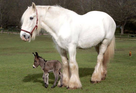 Gulliver A White Shire Horse And His Best Friend Apollo The Miniature Donkey Play Well Together As Long No One Gets Stepped On