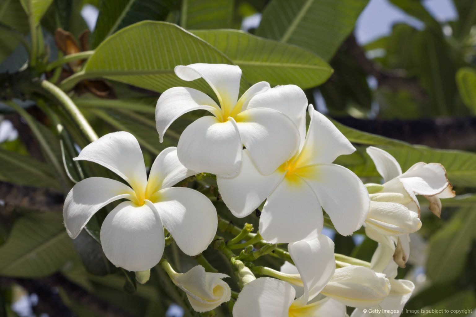 Plumeria Flowers Plumeria Alba Bikini Atoll Micronesia Pacific Ocean Marshall Islands Plumeria Alba Tree Plumeria Flowers Flowers Flower Wallpaper