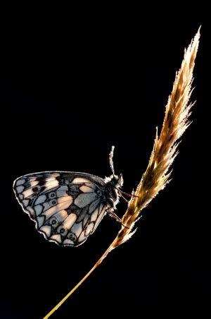 Ross Hoddinott: Backlit Marbled White Butterfly