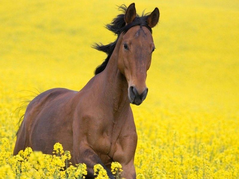 Les Fonds D Ecran Un Cheval Au Galop Dans Un Champ De Fleur Cheval Galop Cheval Fond Ecran Cheval