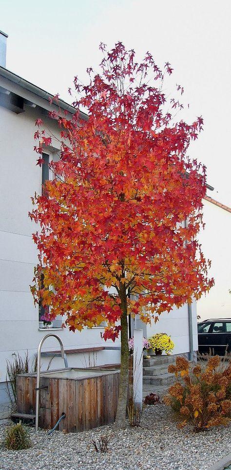 Amberbaum Bepflanzung Bäume Garten Garten