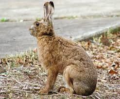 Image result for hare images