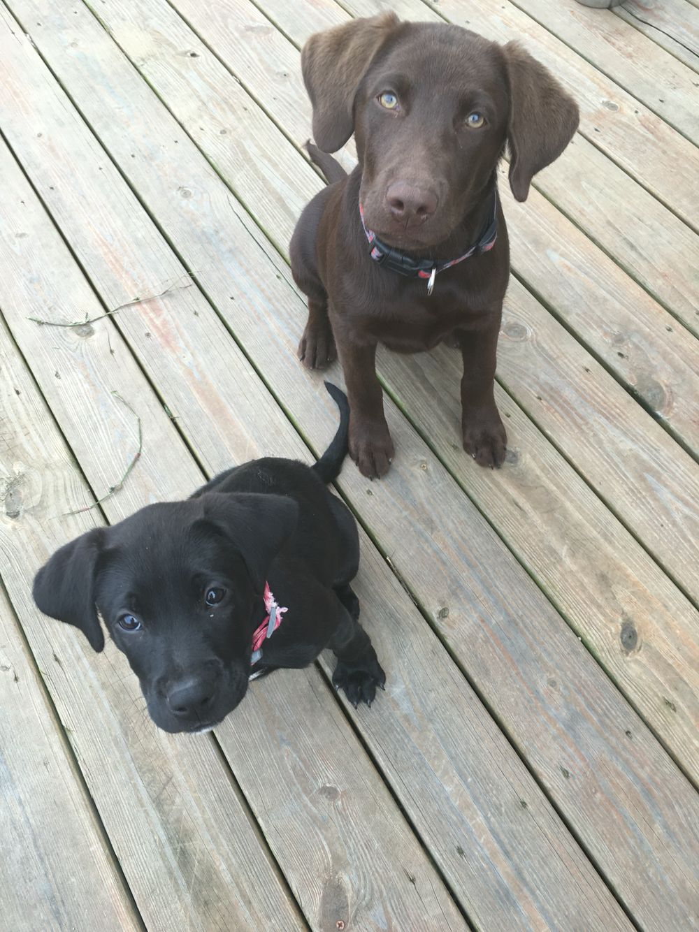 Chocolate Lab And Black Lab Mixed With Boxer Black Lab Mix Animals And Pets Animals