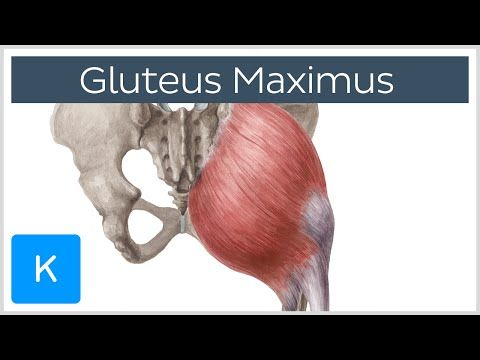 21+ Where is the gluteus maximus muscle located ideas in 2021