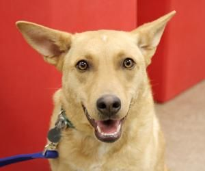 Adopt Yvette On Petfinder Dog Adoption Dogs Labrador Retriever Mix