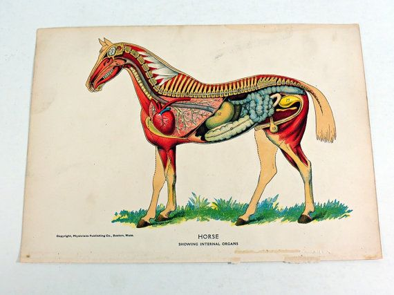 Horse Anatomy Diagram Showing Internal Organs @etsy | Vintage ...