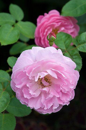 "~~  David Austin Rose ""Mary Rose"" by Ellen McKnight ~~"