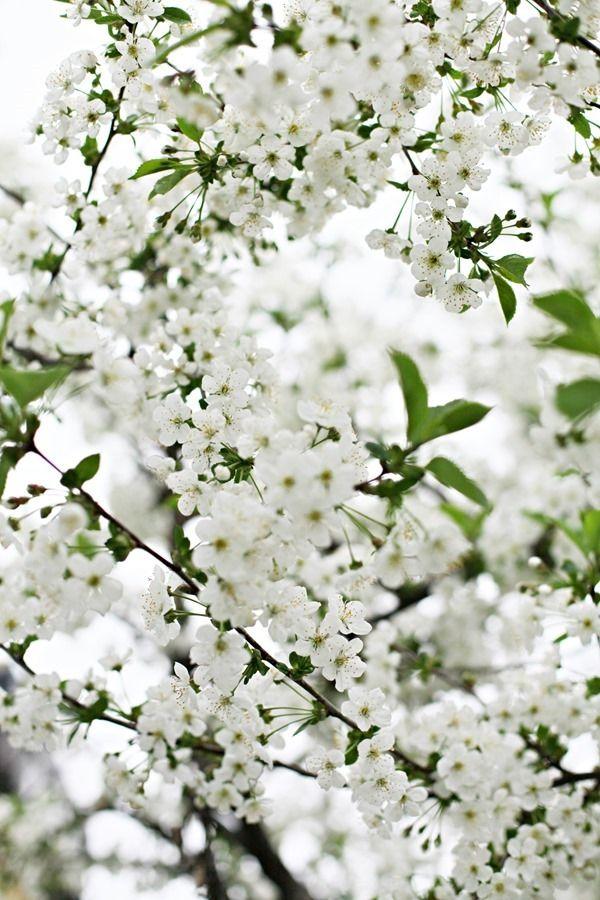 Chez Larsson Cherries White Gardens White Flowers Cherry Tree